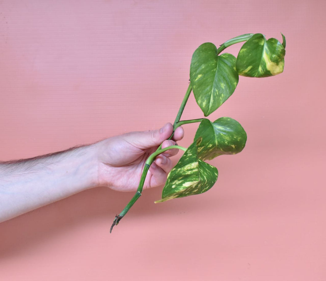 Hand holding a long unrooted Golden pothos cutting in front of a pink background