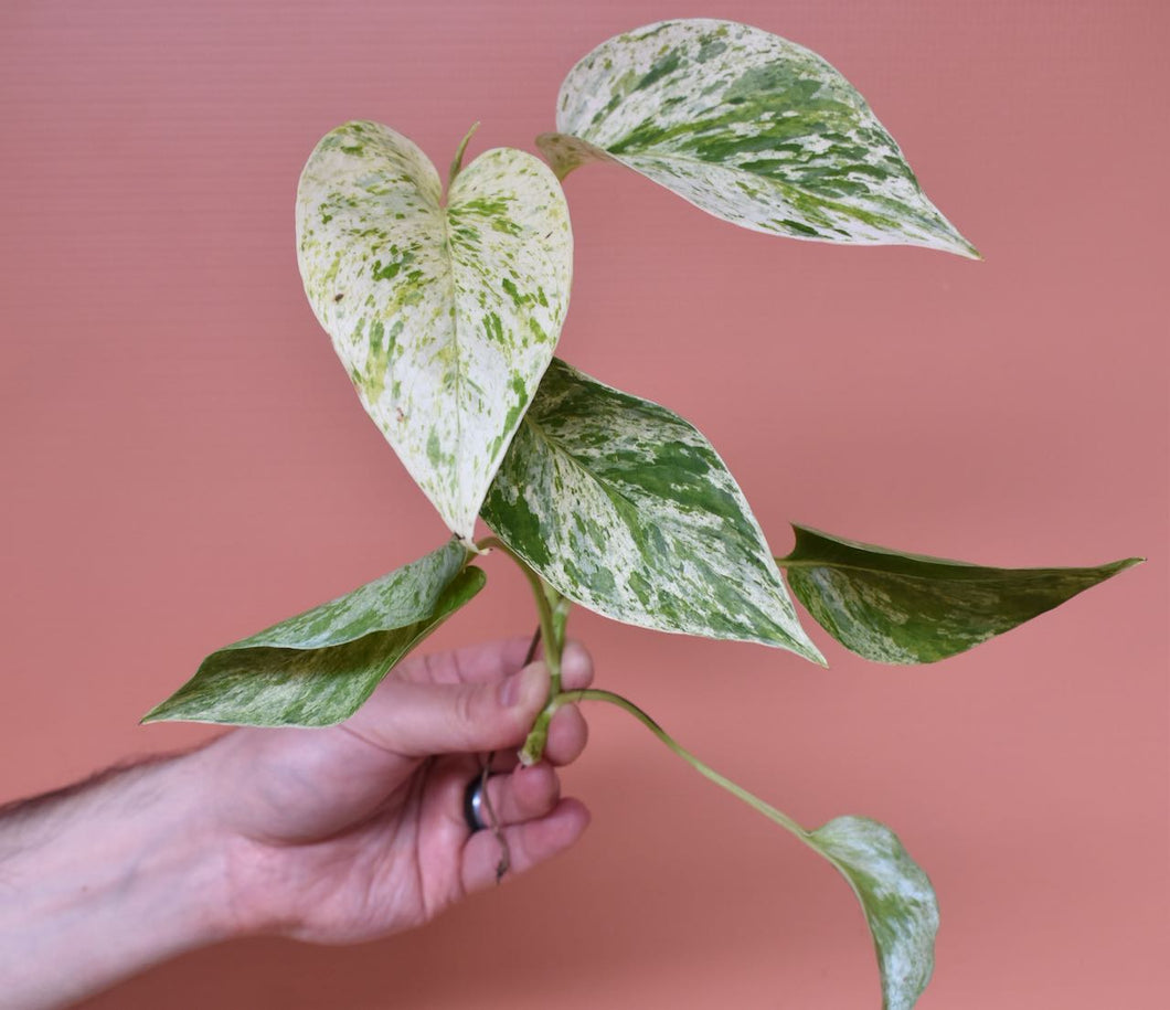 Pothos Marble Queen Cutting