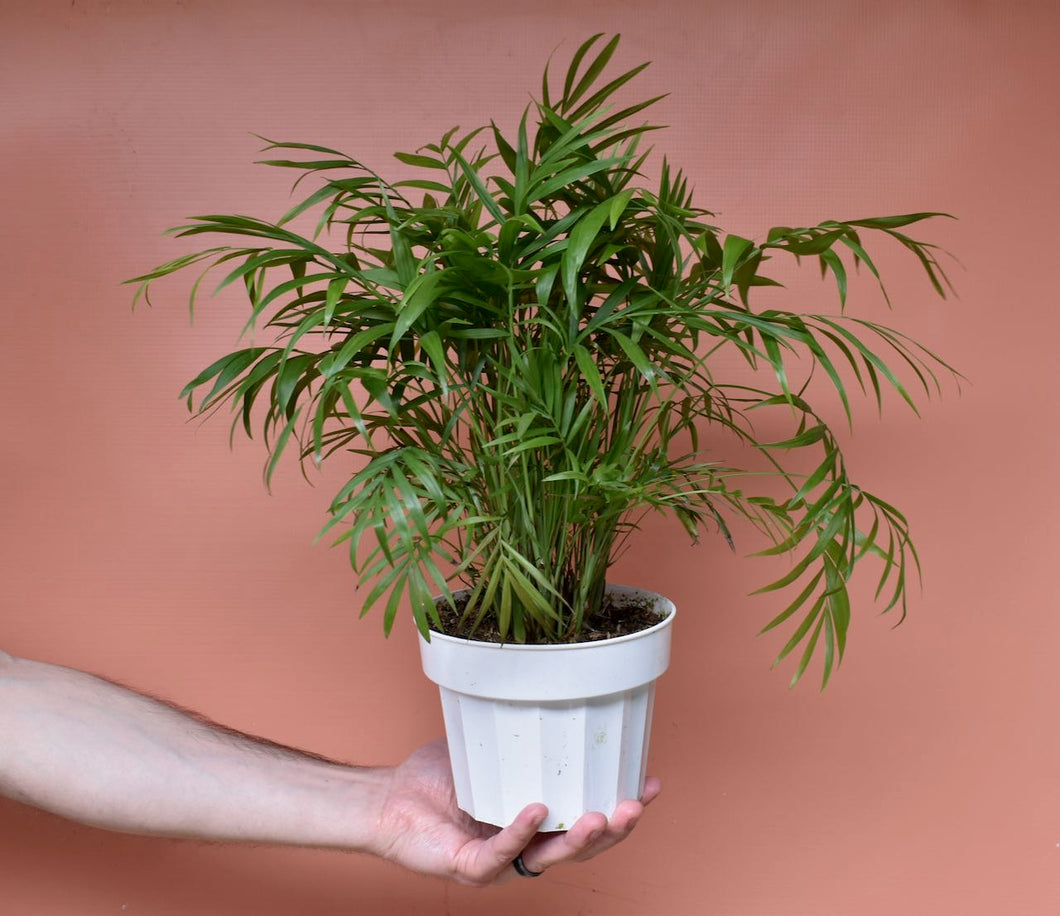 Neanthe Bella Palm / Parlor Palm