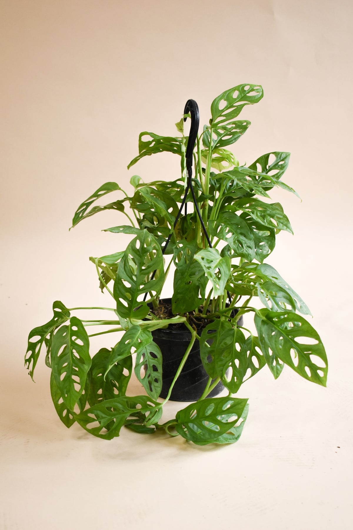 Philodendron Monstera Adansonii