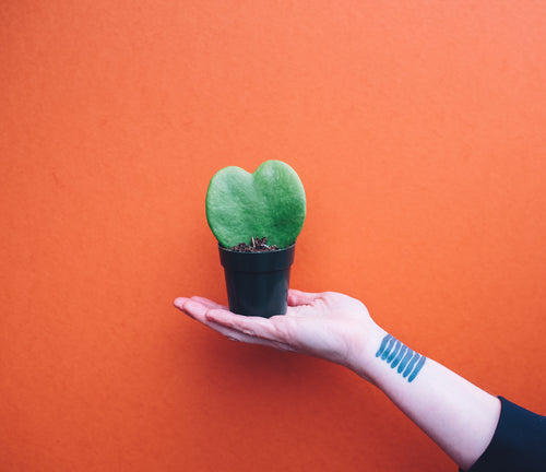Hand holding small Sweetheart Hoya in front of orange background.