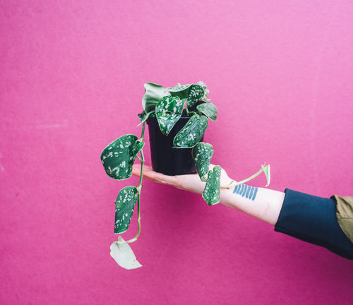 Hand holding Satin Silver Pothos in front of purple background.