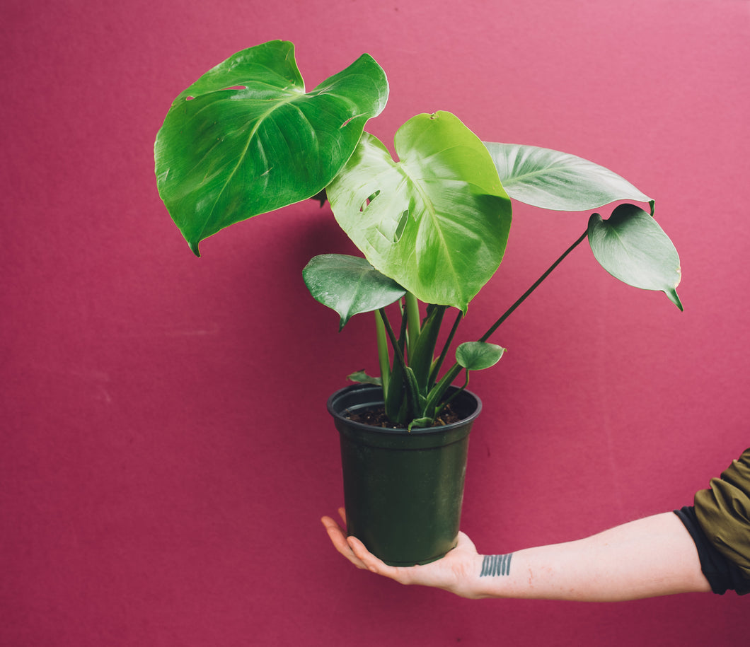 Hand holding Monstera Deliciosa in front of purple background.