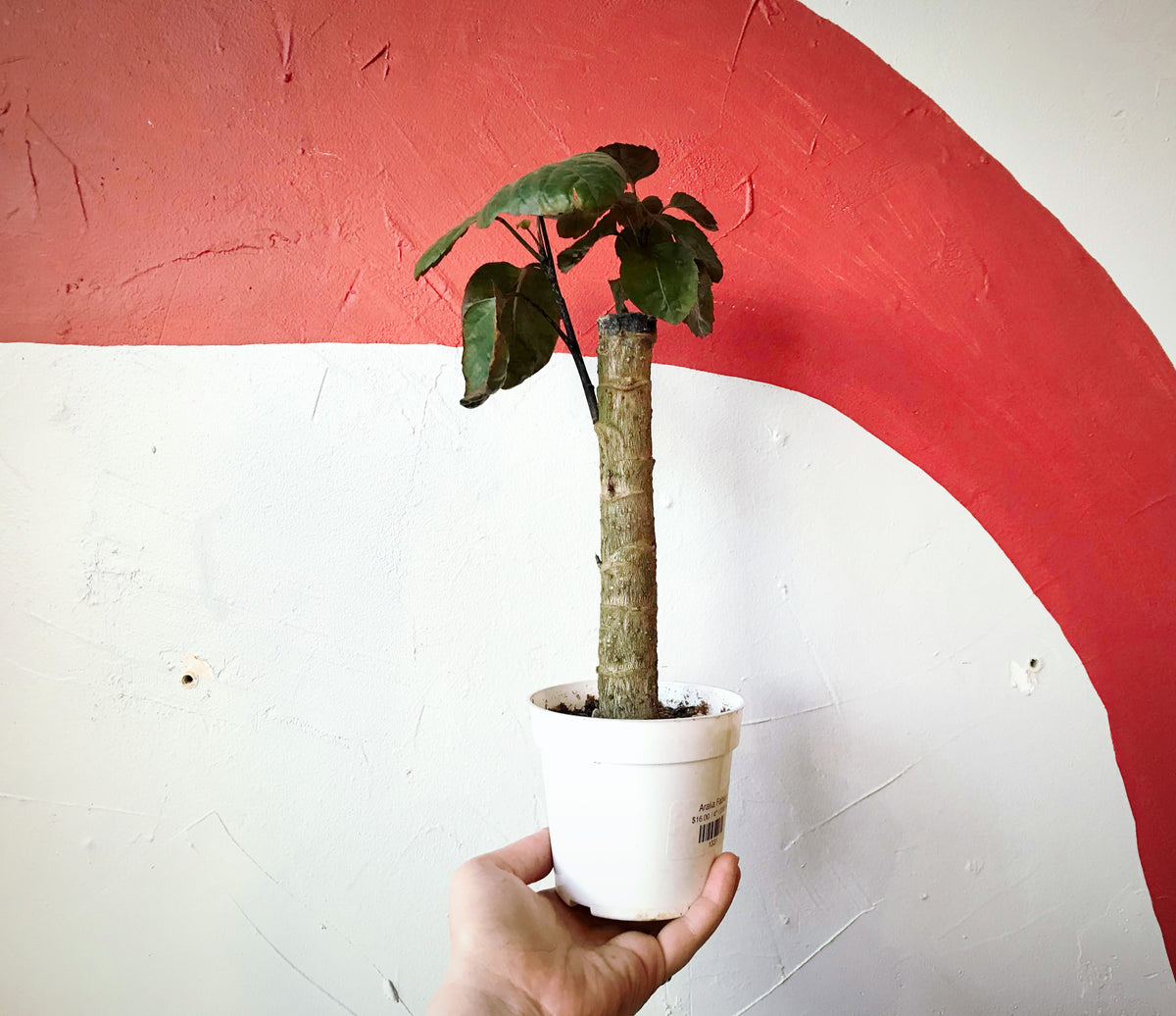 A hand holding a small Aralia Fabian stump in a white plastic grow pot in front of a white and red painted background.