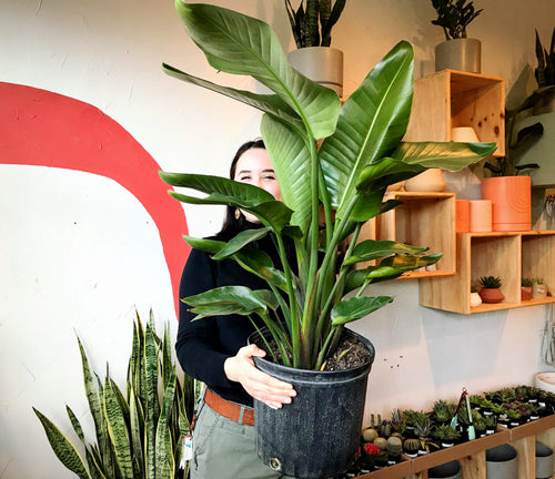 Smiling woman holding large Bird of Paradise plant inside plant store in Tacoma Washington