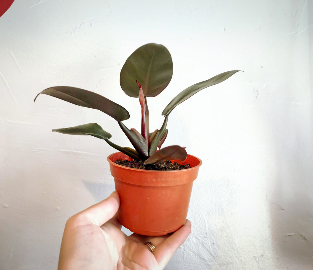 Hand holding Philodendron Black Cardinal.
