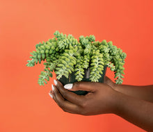 Hands holding burro's tail plant in front of orange background.