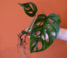 Philodendron Adansonii Swiss Cheese Plant Cutting