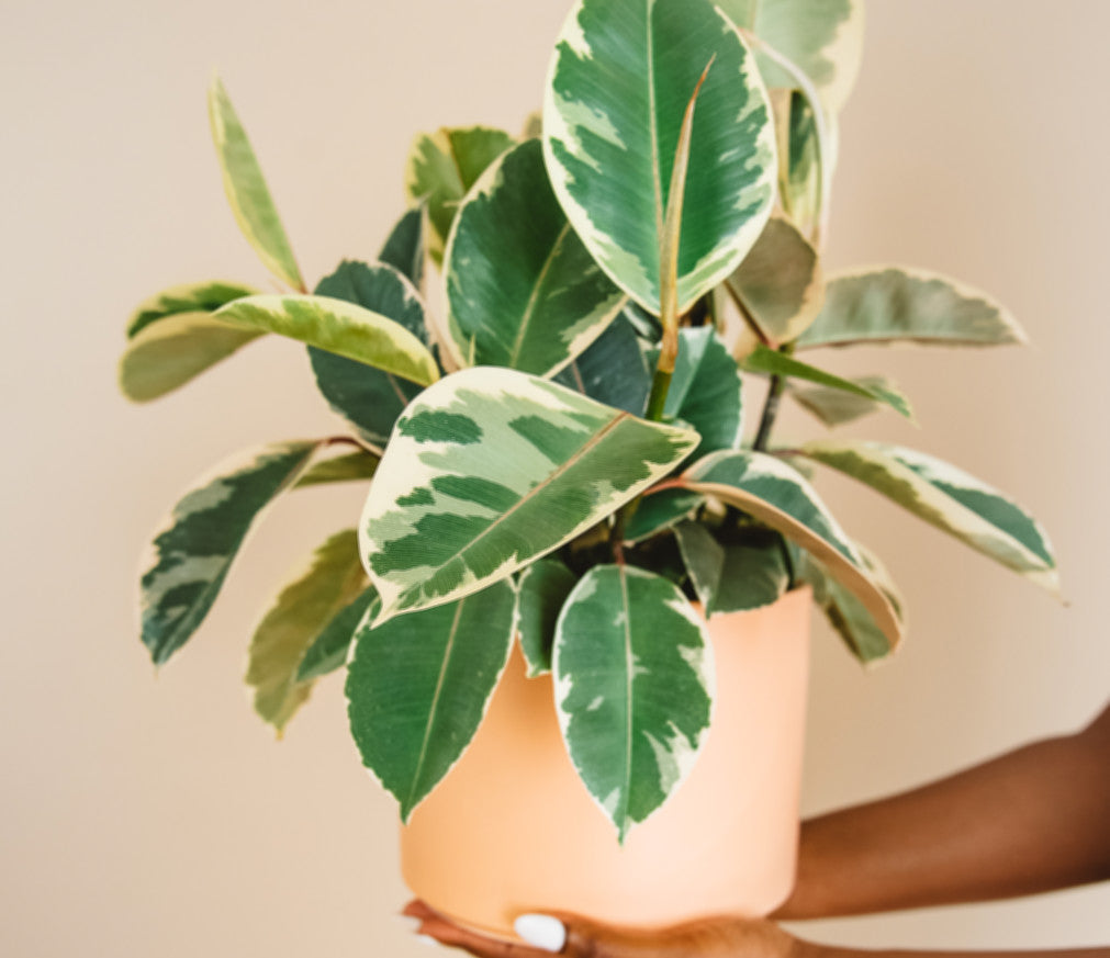 Hands holding ficus decora tineke in a terra cotta pot.