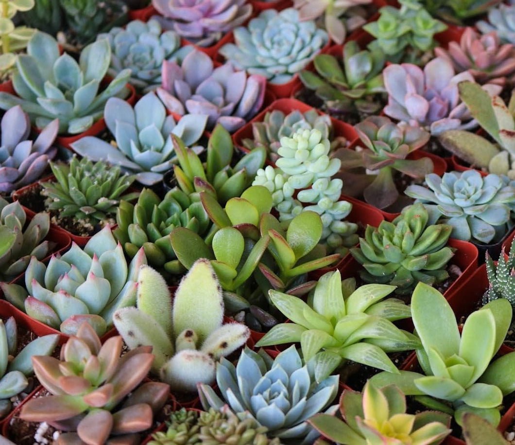 Succulent Grab Bag