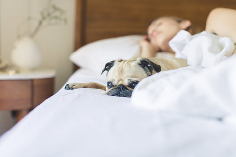 Woman in bed on white sheets with pug