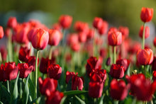 Red Tulips - 02138 - Wall Murals Printing - wall art