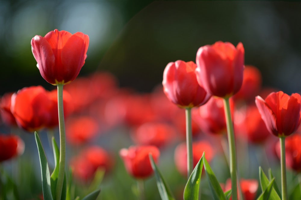 Copy of Red Tulips - 02139 - Wall Murals Printing - wall art