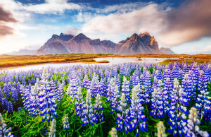 Field of Flowers & Mountains  - 02205 - Wall Murals Printing - wall art