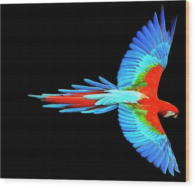 Colorful Parrot In Flight - Wood Print
