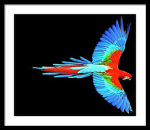 Colorful Parrot In Flight - Framed Print