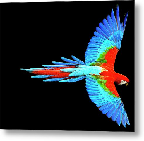 Colorful Parrot In Flight - Metal Print