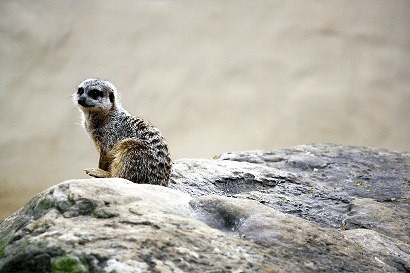 Untroubled Meerkat