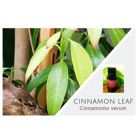 Cinnamon Leaf - Wholesale