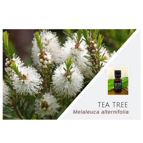 Tea Tree (Melaleuca) - Wholesale