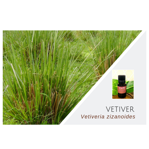 Vetiver - Wholesale