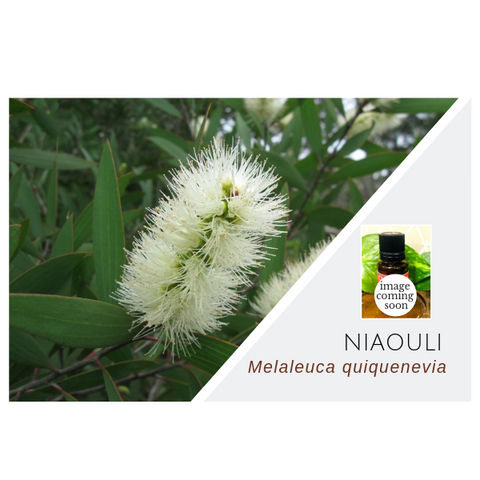 Niaouli - Wholesale