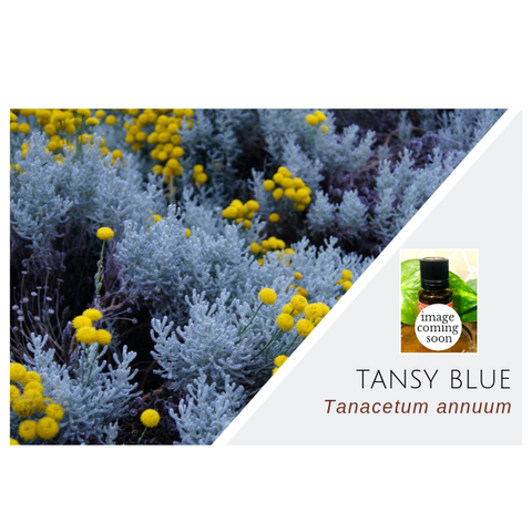 Tansy Blue (Blue Tansy) - Wholesale