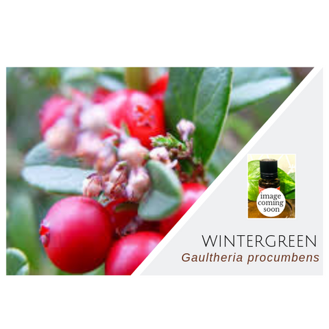 Wintergreen - Wholesale