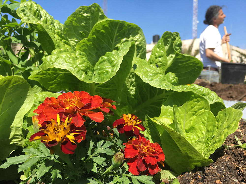 ubran farmer in back - lettuce and strawberry