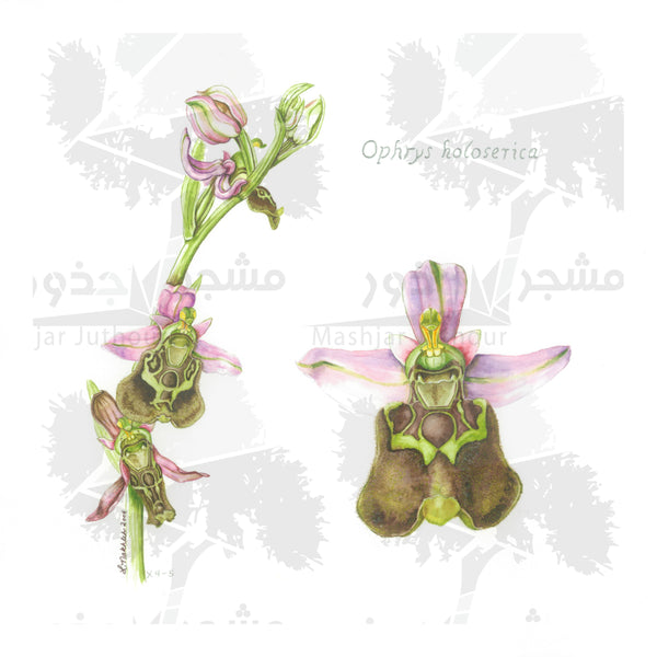 Botanical Art - Bee Orchid Wildflowers Of Palestine Botanical Print - Ophrys Holoserica