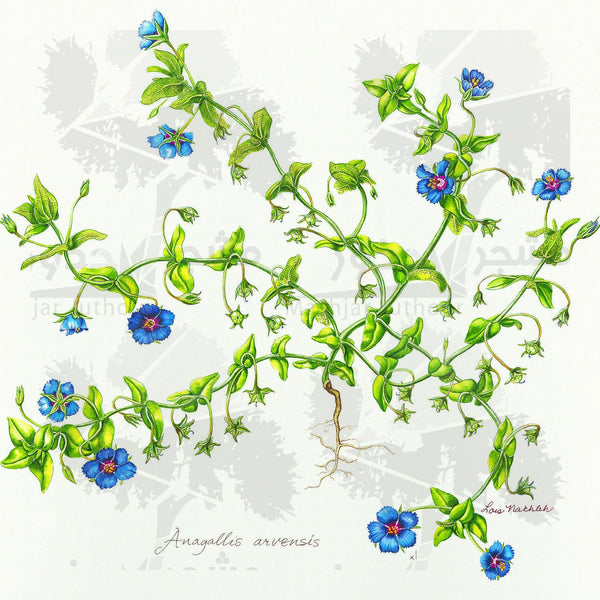Botanical Art - Blue Wildflower Botanical Art Print - Wildflowers Of Palestine - Anagallis Arvensis