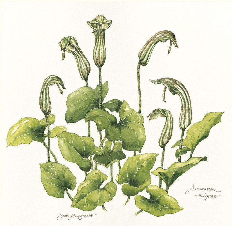 Botanical Art - Botanical Art Print - Arisarum Vulgare