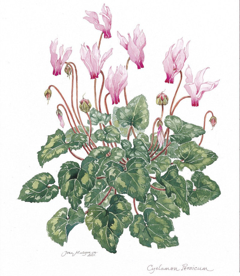 Botanical Art - Botanical Art Print - Cyclamen Persicum