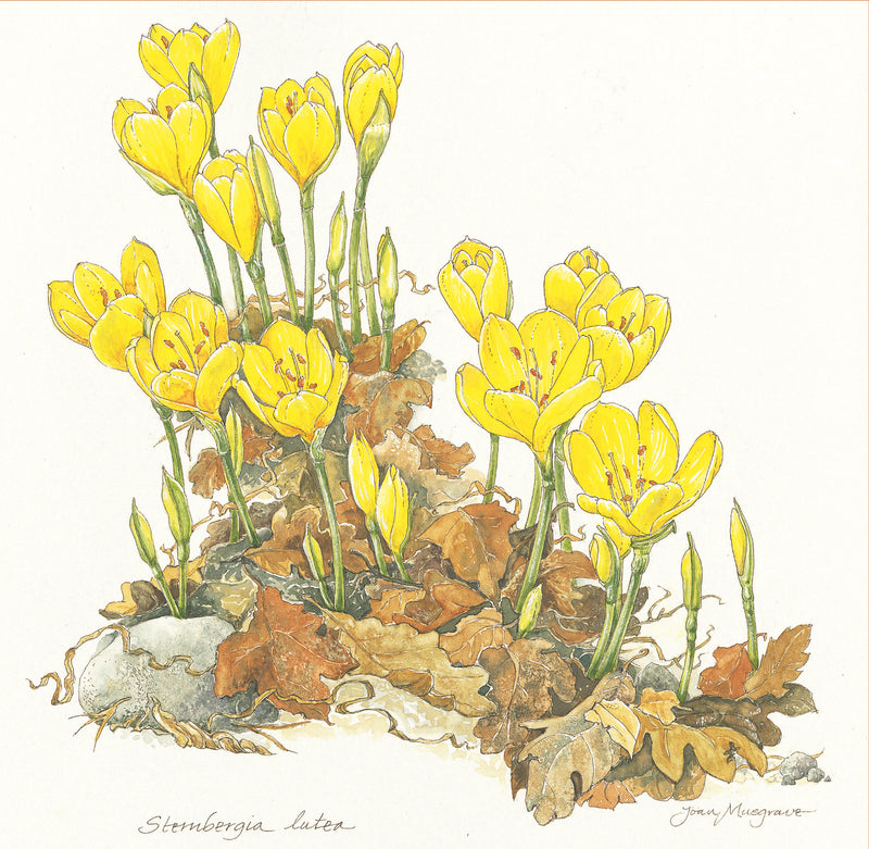 Botanical Art - Botanical Illustration - Stembergia Lutea