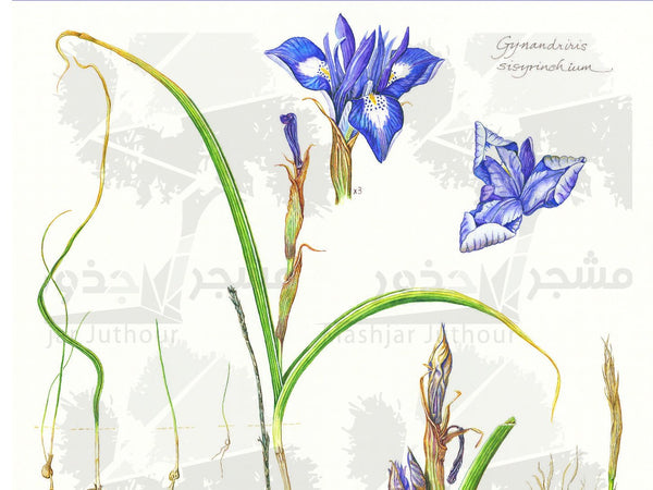 Botanical Art - Gynandriris Sisyrinchium - Wildflower Art Print - Wildflowers Of Palestine