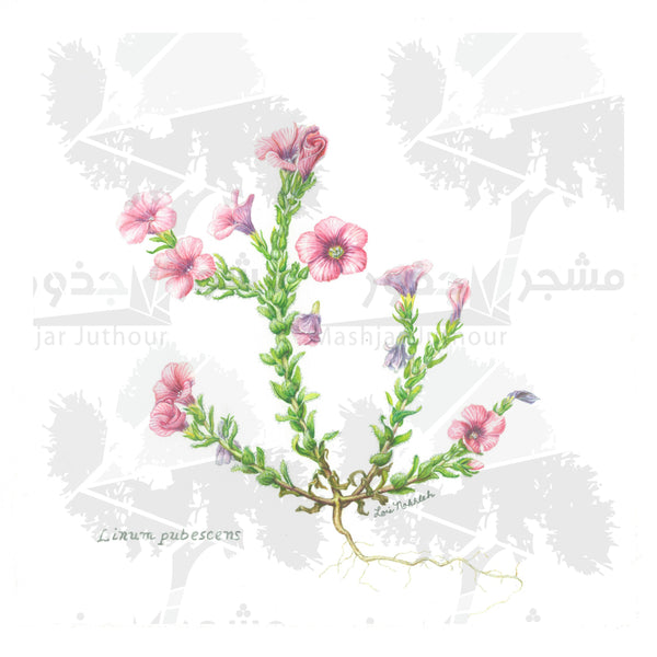 Botanical Art - Pink Wildflower Art - Wildflowers Of Palestine - Linum Pubescens