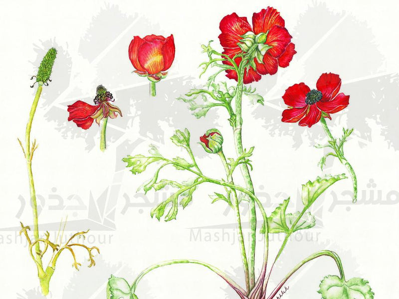 Botanical Art - Ranunculus Asiaticus