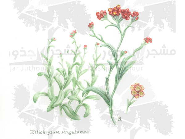 Botanical Art - Red Wildflower Art Print - Wildflowers Of Palestine - Helichrysum Sanguineum