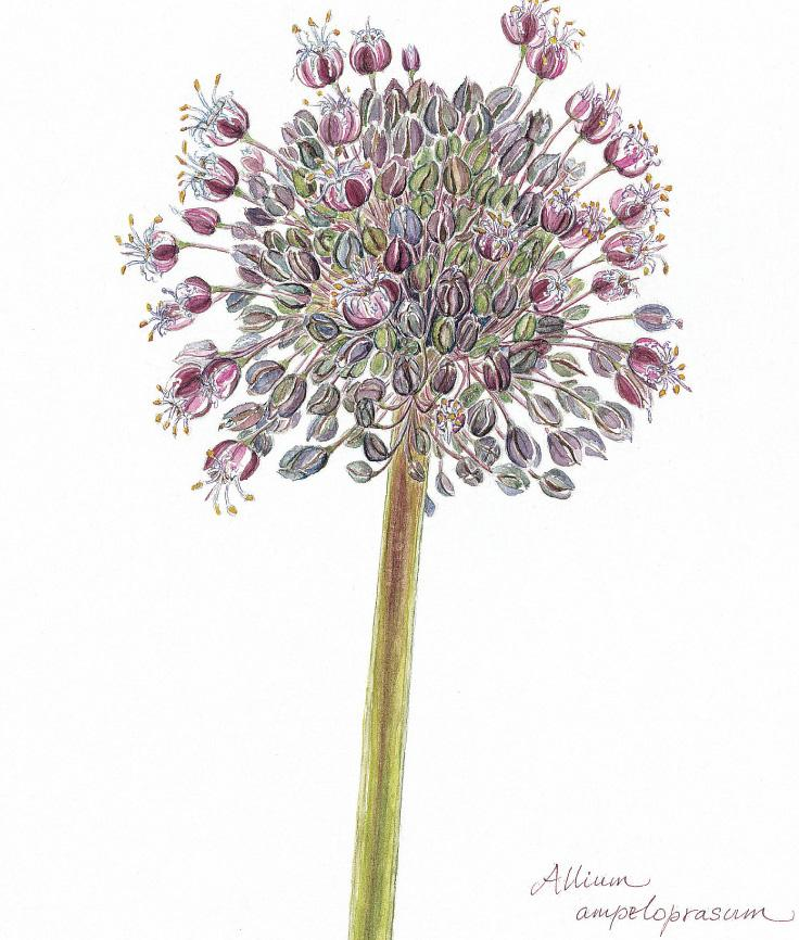 Botanical Art - Wildflower Art - Botanical Art Print - Allium Ampeloprasum