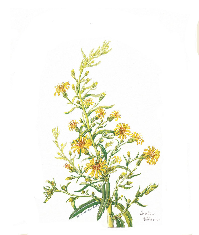 Botanical Art - Wildflower Art - Botanical Art Print - Inula Viscosa