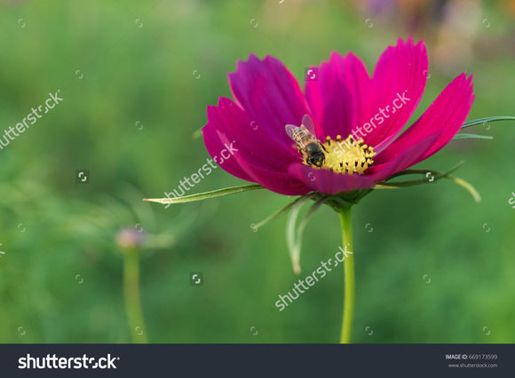 A honeybee pollinates a pretty magenta cosmos in the flower garden with a green blurry background.