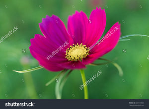 A pretty magenta cosmos in the flower garden with a green blurry background.