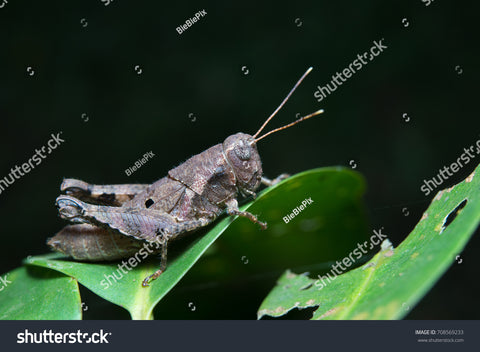 Anasedulia Maejophrae or Brown Short Horned Grasshopper on a leafy plant with black background.