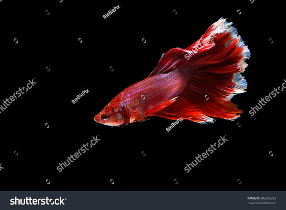 Beautiful movement of red Siamese Fighting Fish (Halfmoon Betta) on a black background.