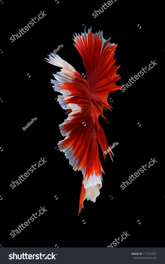 Beautiful movement of Red Halfmoon Betta Fish on a black background.