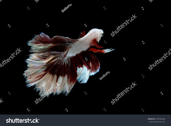 Beautiful movement of Halfmoon Betta on a black background.