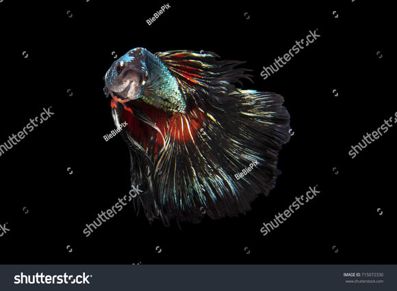 Beautiful movement of Halfmoon Betta Fish on a black background