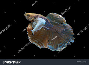 Beautiful movement of Halfmoon Betta Fish on a black background.