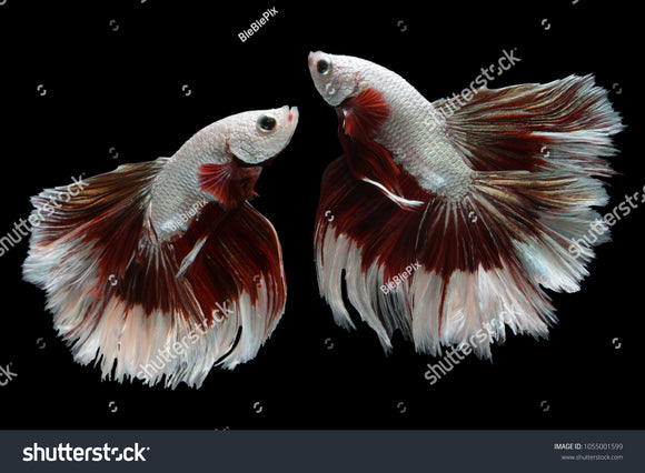 Beautiful movement of 2 Halfmoon Betta Fishes on a black background.