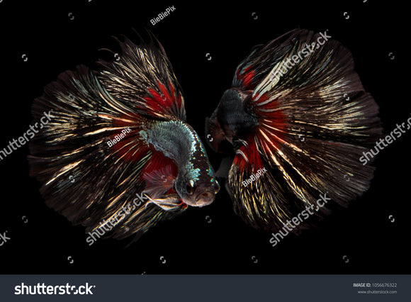 Beautiful movement of 2 Halfmoon Bettas on a black background.